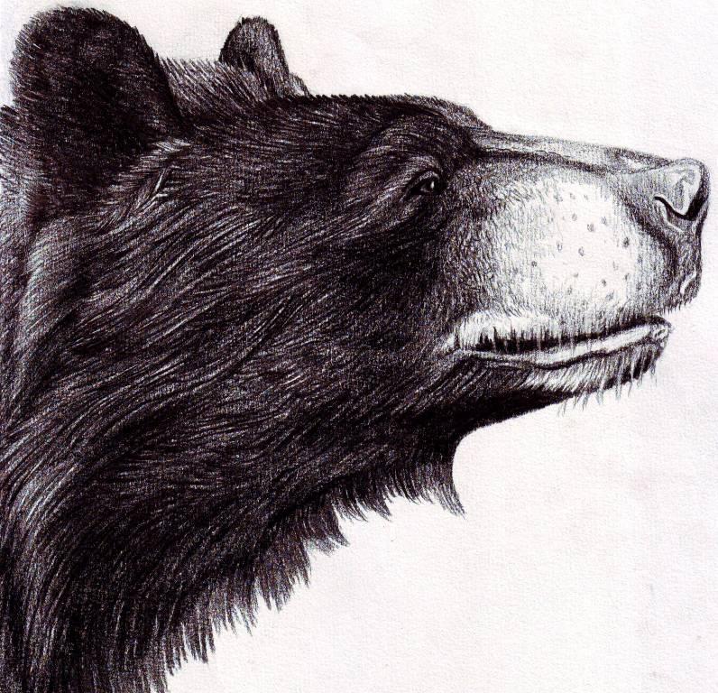 Black bear sketches - photo#17